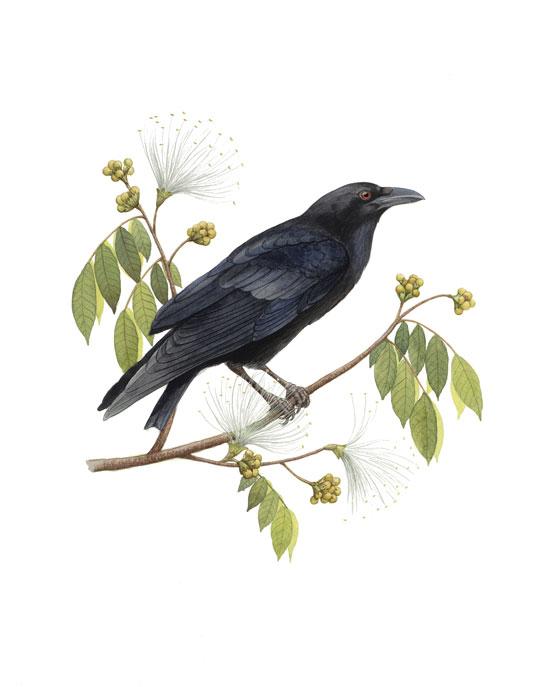 Cuervo de La Española